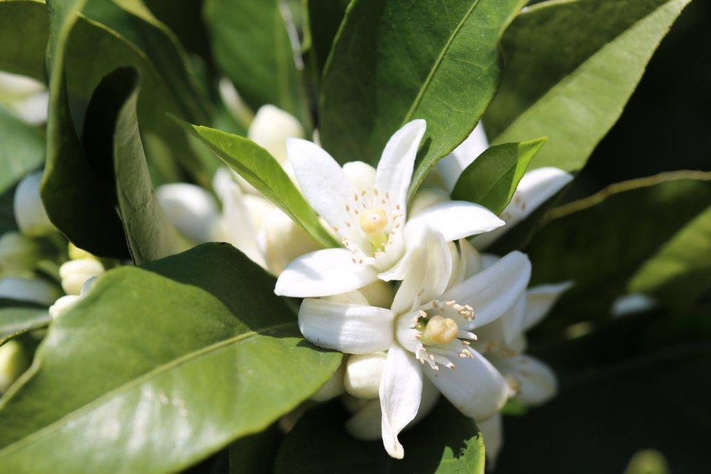 As flores de Laranjeira