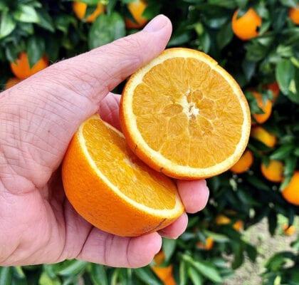 - As minhas laranjas